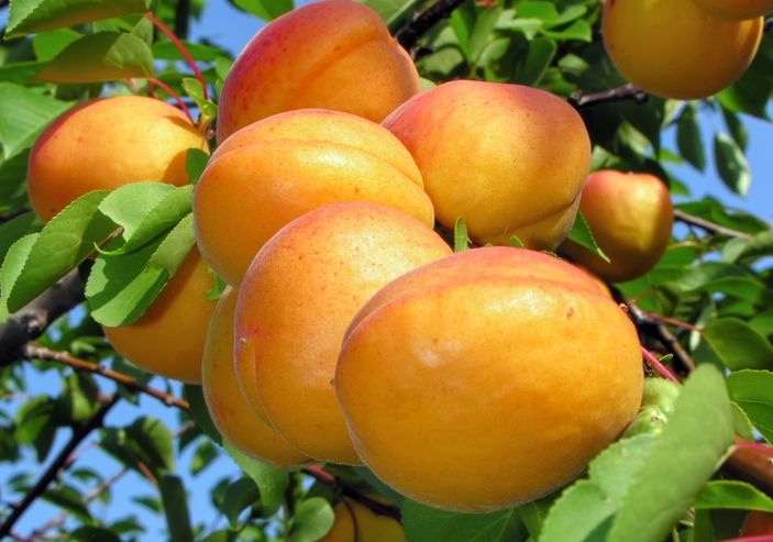 where to get apricot fruits in kenya Nairobi Archives - Oxfarm