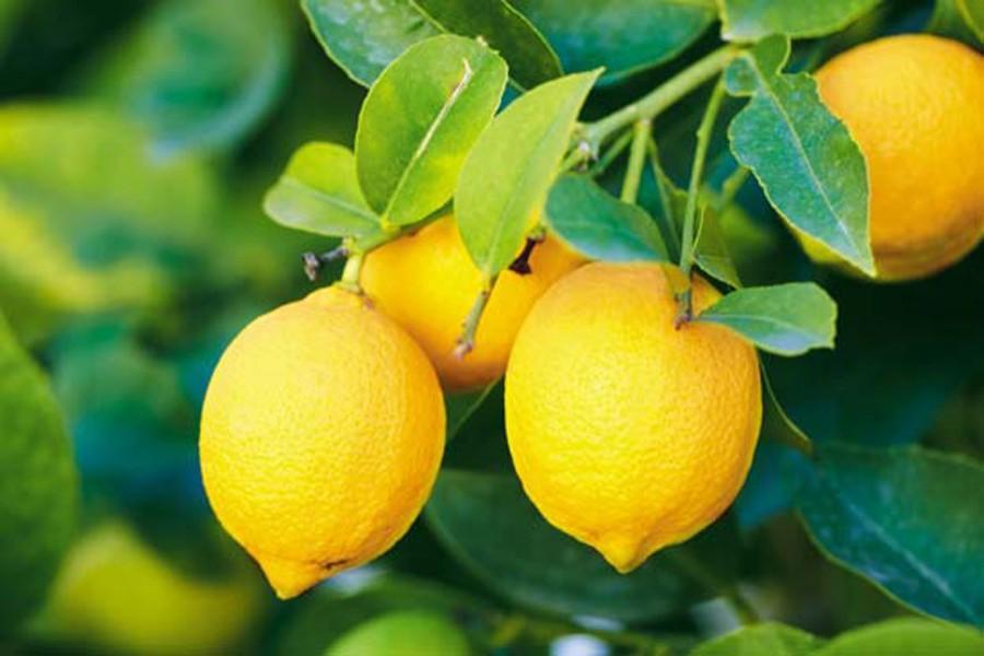 lemon f