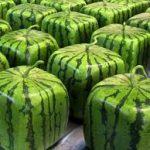 Melon fruits