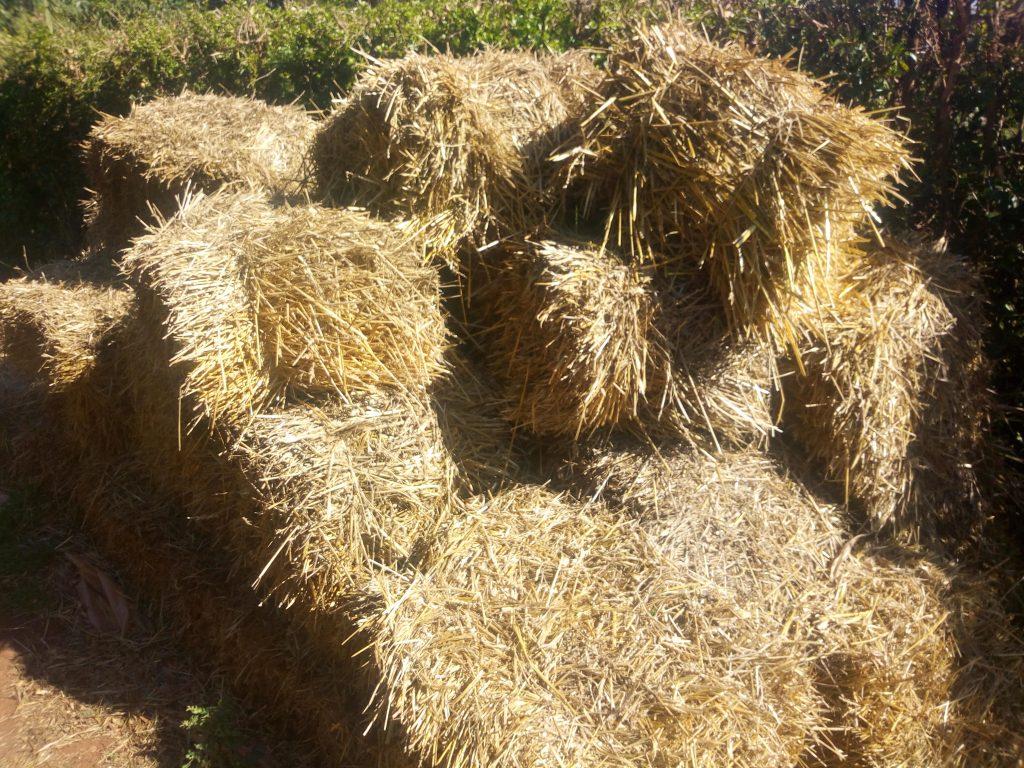 Hay for mushroom farming