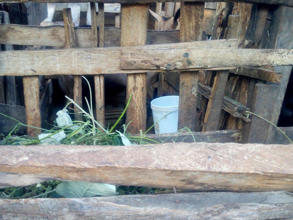 Dairy cows Mr Njoroge farm Nyeri