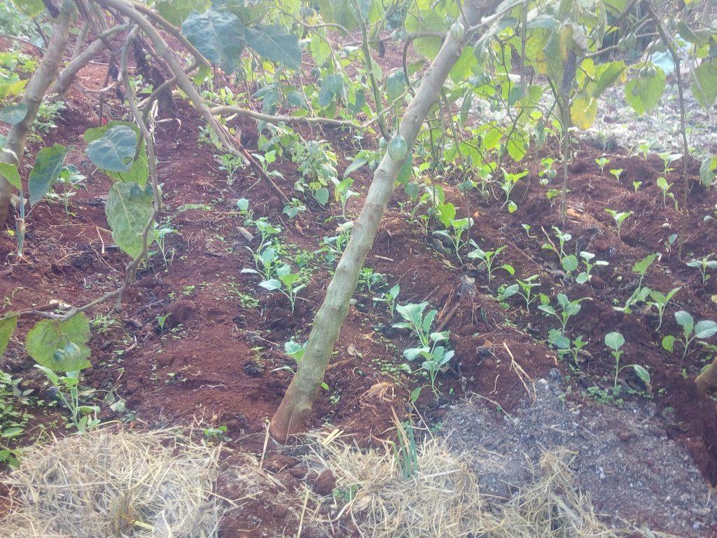 crop farming in mr njoroge farm