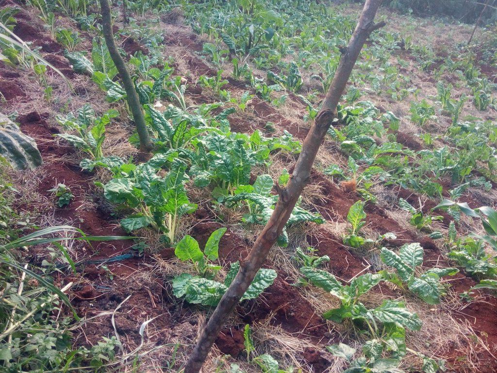 spnach farming, mixed farming