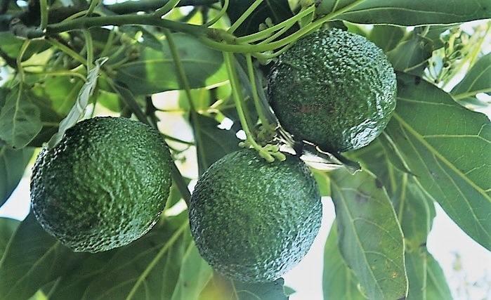 hass avocado fruit