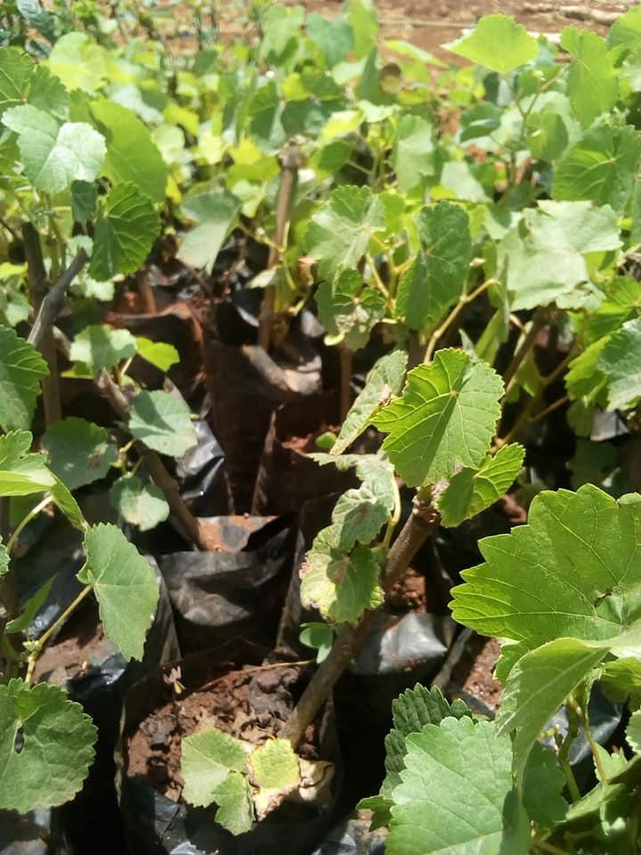 grapes seedlings