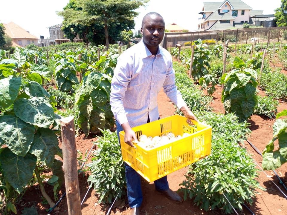 Harvesting of pepino fruits - Dickson Kahuro