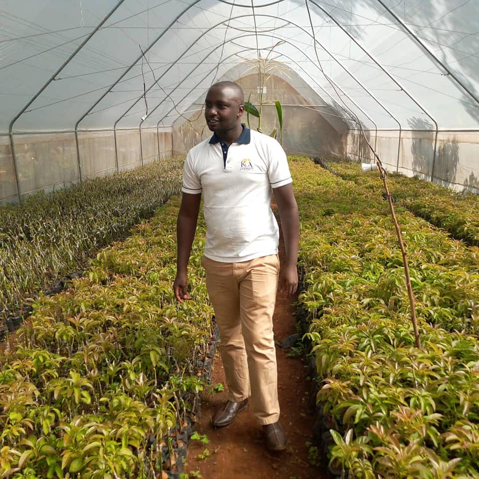 Hass Avocado Seedlings in our Nurseries