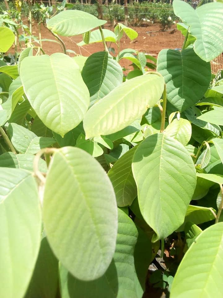 tomoko seedlings