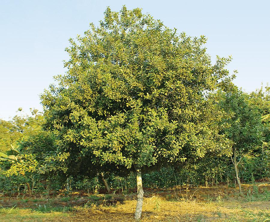 macadamia plant