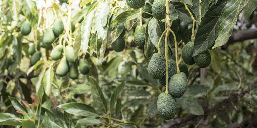 Growing hass avocado organically