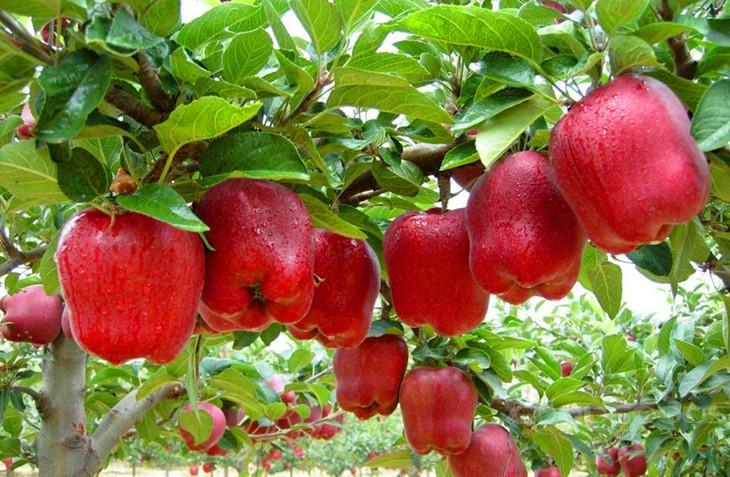 apples in kenya