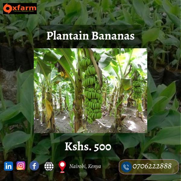 plantain-Bananas-Made-with-PosterMyWall